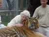 Highlight for Album: Petting Tigers